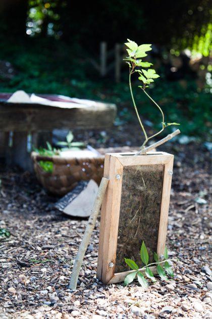 Ash Tree seedling